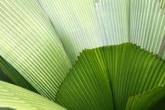 Foglio - giardini botanici, Singapore Fotografie Stock