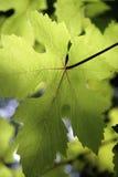 Foglio illuminato dell'uva Fotografia Stock