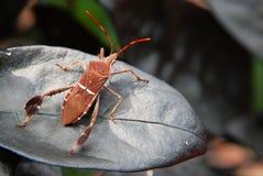 foglio marrone dello scarabeo Immagine Stock