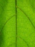 Foglio microscopico della pianta Immagine Stock