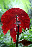 Foglio rosso Immagine Stock