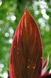 Foglio rosso Fotografie Stock Libere da Diritti