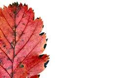 Foglio rosso Fotografia Stock