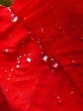 Foglio rosso Fotografia Stock Libera da Diritti