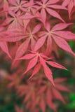 Foglio rosso in autunno immagini stock