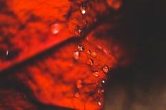 Foglio rosso con le gocce dell'acqua fotografia stock libera da diritti