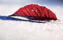 Foglio rosso congelato in neve Immagine Stock