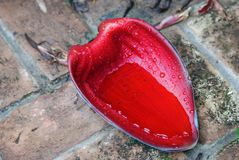 Foglio rosso del fiore della banana Fotografia Stock Libera da Diritti