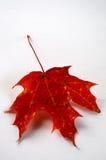 Foglio rosso di autunno Immagini Stock
