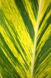 Foglio tropicale Fotografia Stock Libera da Diritti
