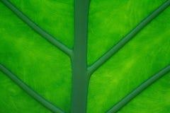 Foglio tropicale Fotografie Stock