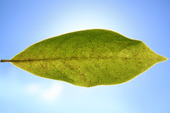 Foglio verde Immagini Stock Libere da Diritti