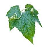 Foglio verde. Fotografia Stock