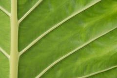 foglio verde Immagine Stock Libera da Diritti