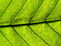 Foglio verde chiaro Fotografie Stock