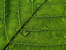 Foglio verde con goccia Immagini Stock Libere da Diritti
