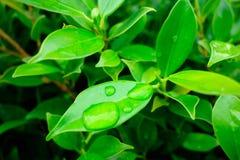 Foglio verde con goccia dell'acqua Fotografia Stock Libera da Diritti