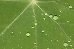 Foglio verde con i waterdrops Immagini Stock