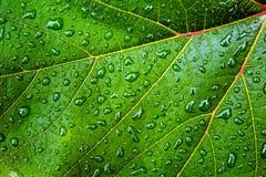 Foglio verde con le gocce dell'acqua Fotografia Stock Libera da Diritti