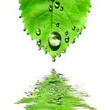 Foglio verde con le gocce dell'acqua isolate su bianco Immagini Stock