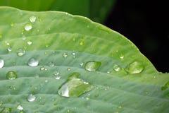 Foglio verde con le gocce di acqua Immagine Stock Libera da Diritti