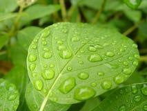 Foglio verde con le gocce di acqua Immagine Stock