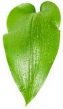 Foglio verde con le goccioline della pioggia Immagine Stock