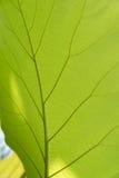 Foglio verde con le vene Fotografia Stock Libera da Diritti