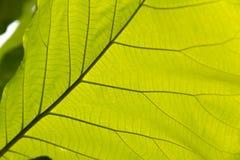 Foglio verde con le vene Immagini Stock Libere da Diritti