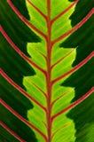 Foglio verde con le vene rosse Fotografia Stock