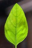 Foglio verde del basilico Fotografia Stock Libera da Diritti