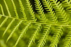 Foglio verde del Bracken (Pteridium) immagini stock