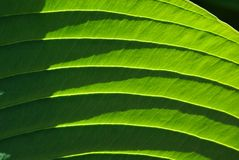 Foglio verde del fiore, Elephantear Fotografia Stock