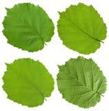 Foglio verde del linden Fotografia Stock Libera da Diritti