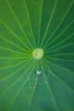 Foglio verde del loto con le gocce dell'acqua Fotografia Stock Libera da Diritti