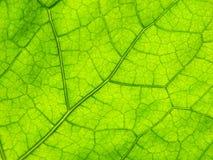 Foglio verde del primo piano Fotografia Stock Libera da Diritti