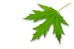 Foglio verde dell'acero isolato su un bianco Fotografia Stock