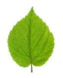 Foglio verde dell'albero di betulla immagini stock