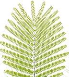 Foglio verde dell'albero di falcata di Albizzia Fotografie Stock