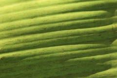 Foglio verde della banana Fotografie Stock