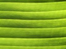 Foglio verde della banana Fotografie Stock Libere da Diritti