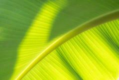 Foglio verde della banana Immagini Stock