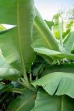 Foglio verde della banana Fotografia Stock