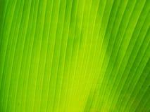 Foglio verde della banana Immagini Stock Libere da Diritti