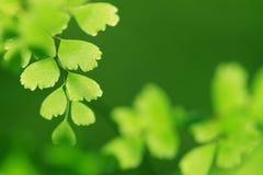 Foglio verde della felce Fotografia Stock