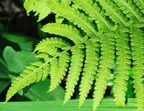 Foglio verde della felce Fotografia Stock Libera da Diritti