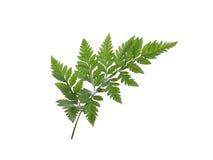 Foglio verde della felce isolato su priorità bassa bianca Immagine Stock