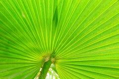 Foglio verde della palma fotografie stock libere da diritti