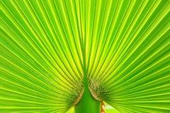 Foglio verde della palma fotografia stock