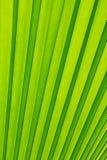 Foglio verde della palma come priorità bassa Fotografia Stock
